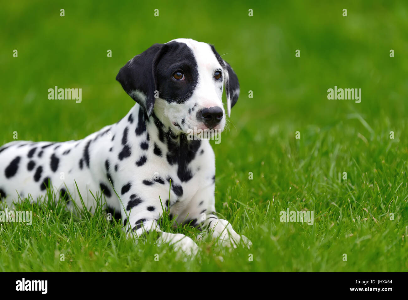Adorable dalmatian dog outdoors in summer - Stock Image