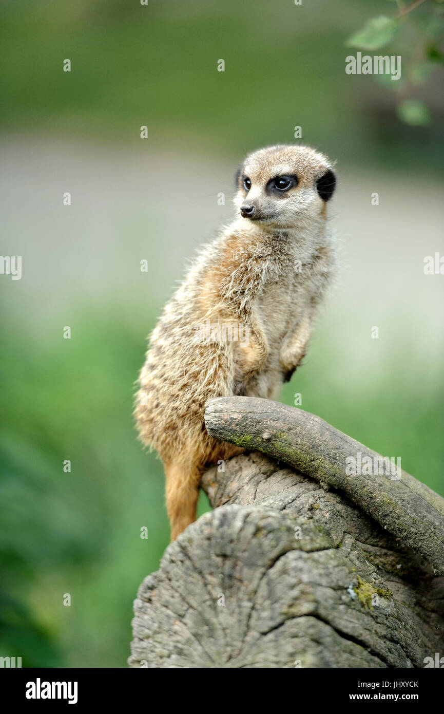 Meerkat standing upright and looking alert - Stock Image