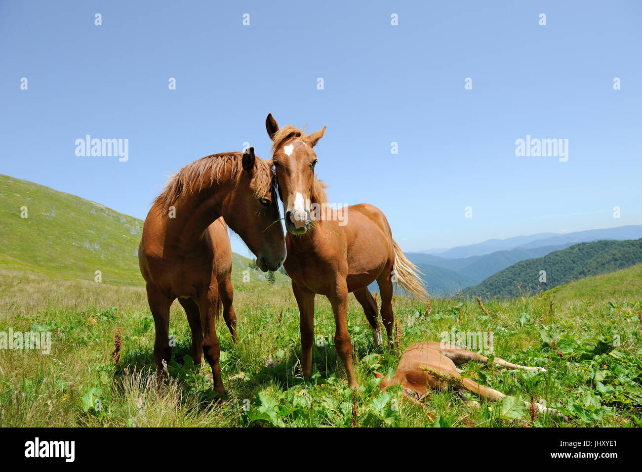 Bay horse skips on a green meadow against mountains - Stock Image