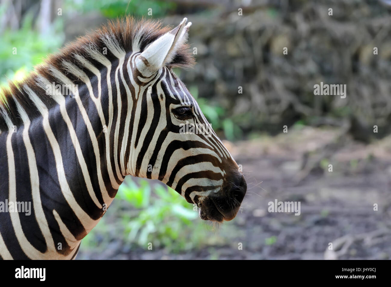 Zebra on grassland in Africa, National park of Kenya - Stock Image