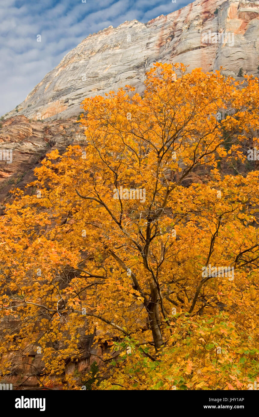 A rock formation known as the Great White Throne towers over a brilliant yellow Box Elder tree in Zion National - Stock Image
