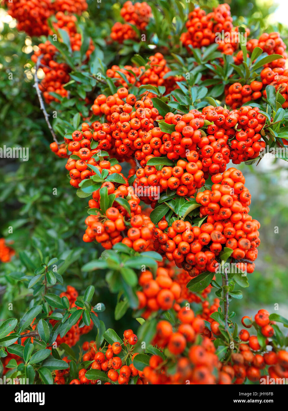 Fire thorn - Firethorn, Feuerdorn - Firethorn Stock Photo