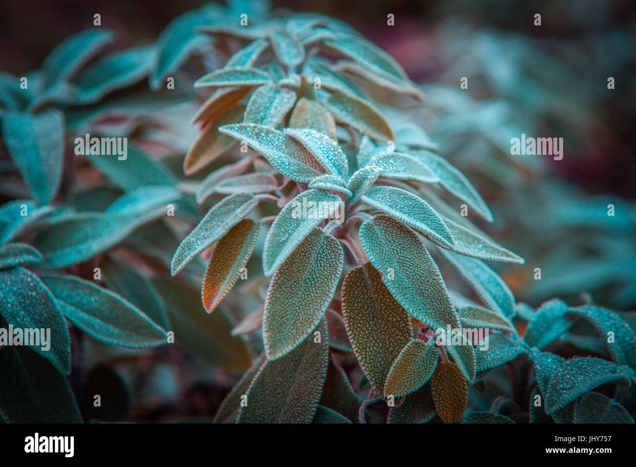 Common Sage green leaves plant - perennial evergreen subshrub closeup. Shallow depth of field - Stock Image