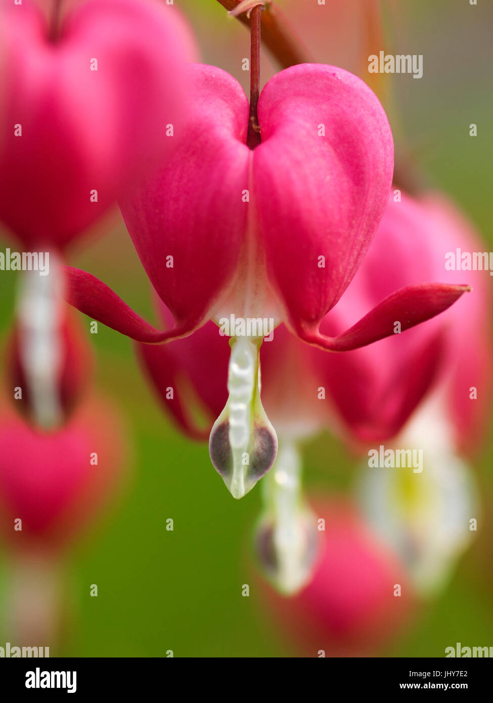 Watering heart (Dicentra spectabilis) - Lyre flower (Dicentra spectabilis), Tränendes Herz (Dicentra spectabilis) - Stock Image