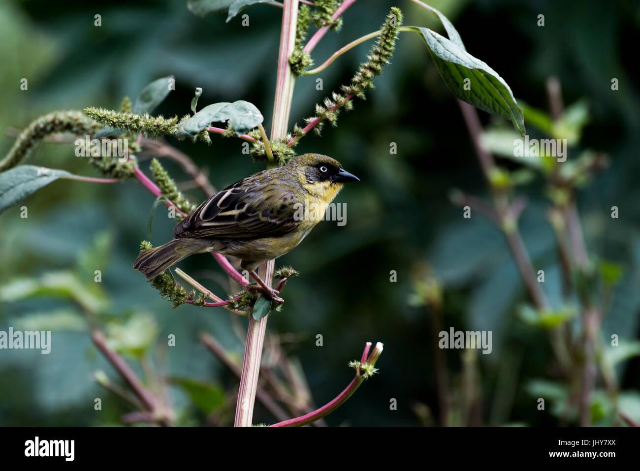 pine warbler (Setophaga pinus) sitting on branch, Addis Ababa Ethiopia Stock Photo