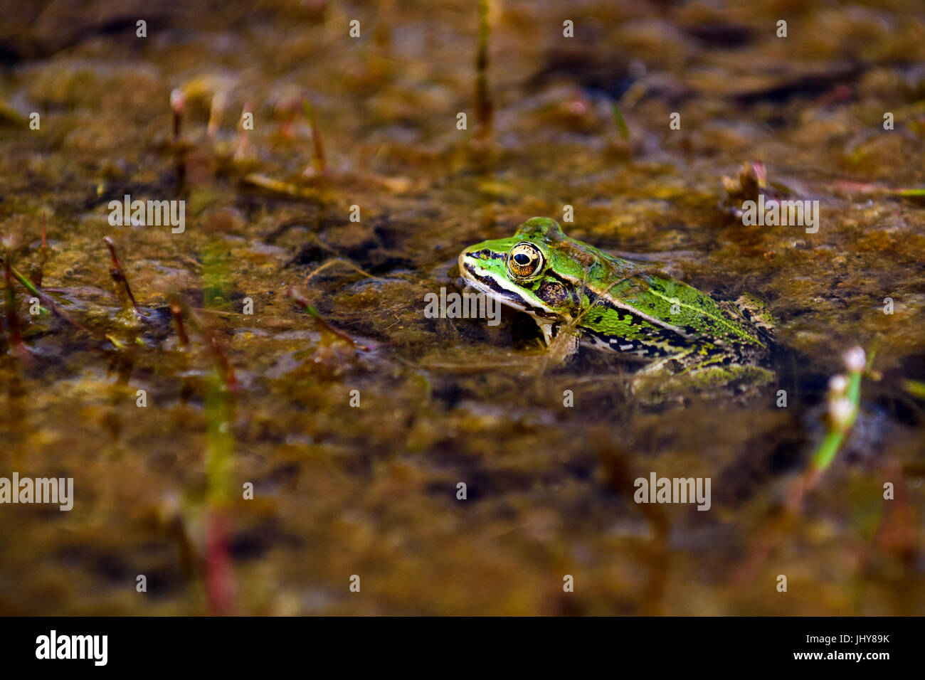 Common European water frog, green frog in its natural habitat, Rana esculenta - Stock Image