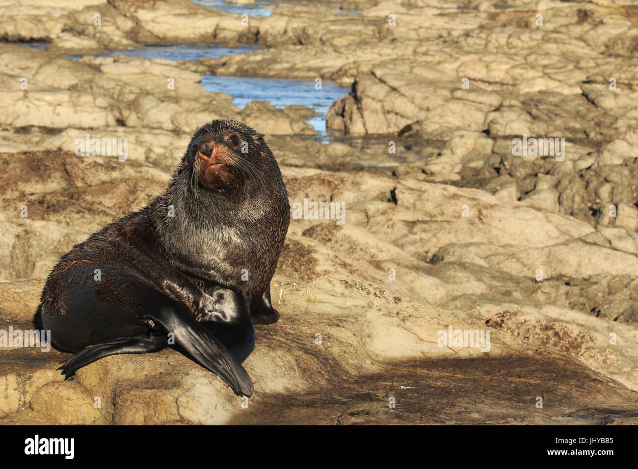 Otarie à fourrure de Nouvelle-Zélande sur le platier de la péninsule de Kaikoura -  -  - - Stock Image
