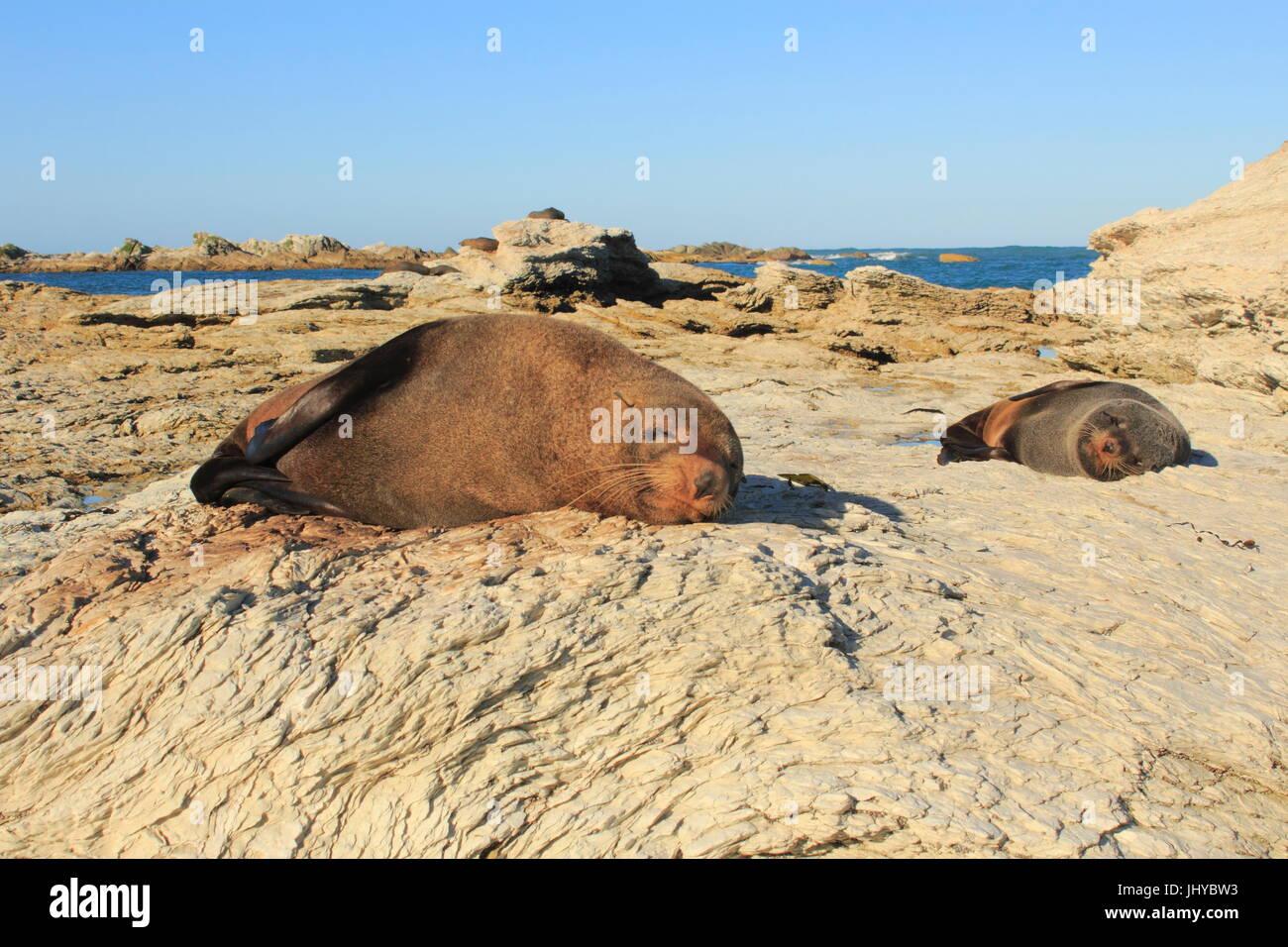 Otaries à fourrure de Nouvelle-Zélande se reposant sur les formations rocheuses de la péninsule de - Stock Image