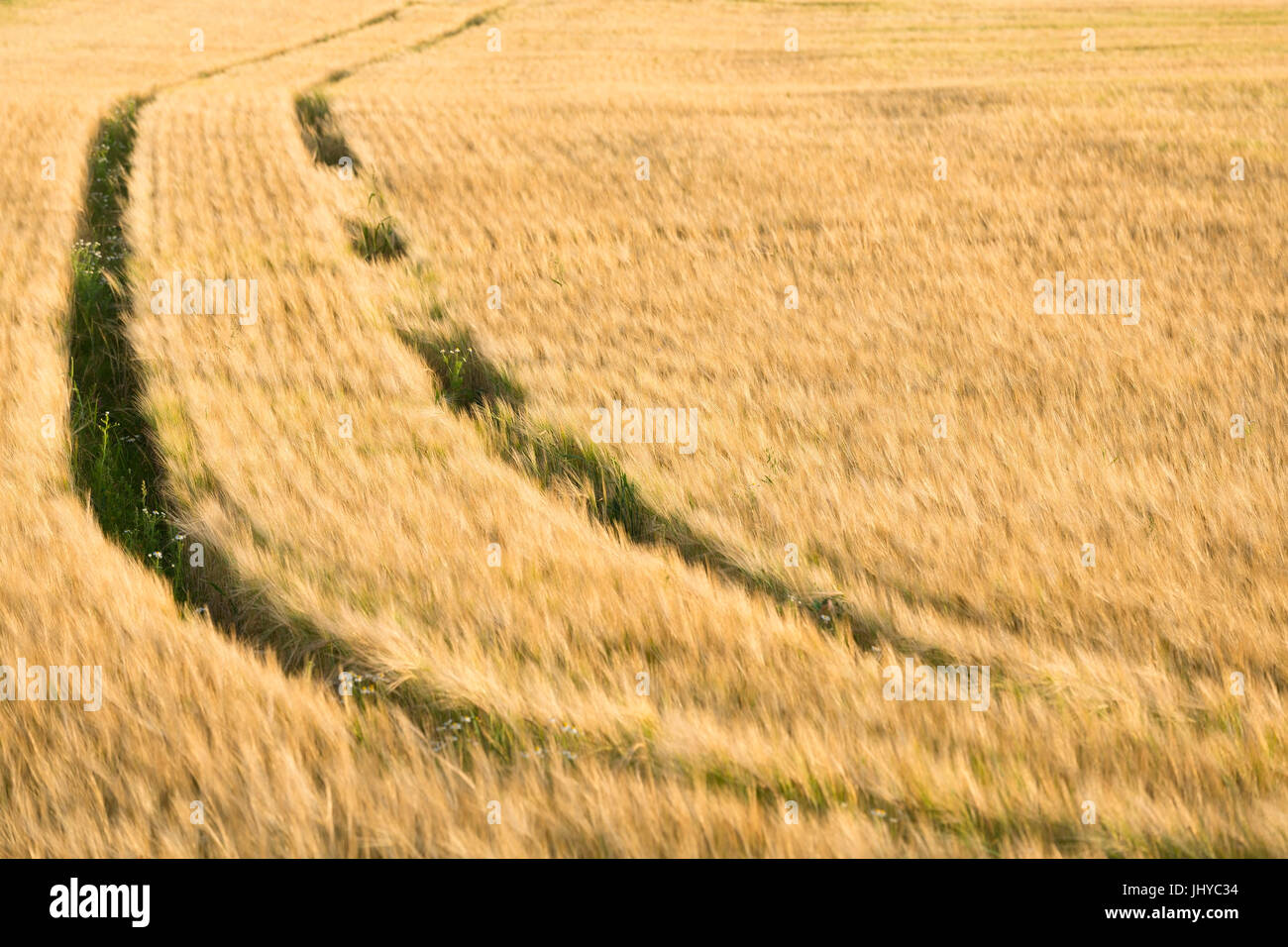 Tracks in the summery grain-field - tracks in the summerly corn field, Spuren im sommerlichen Getreidefeld - Tracks - Stock Image