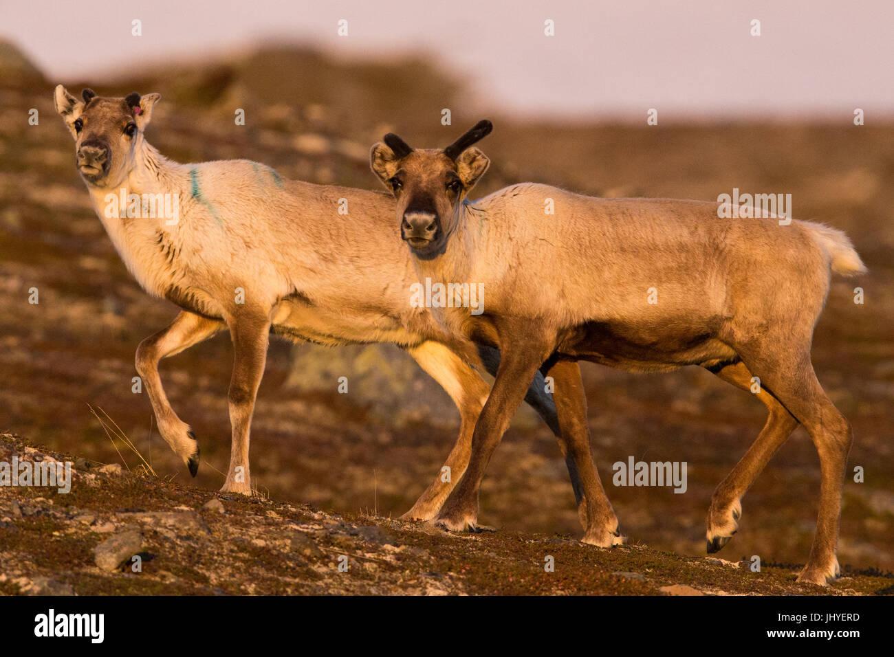 Reindeer (Rangifer tarandus), two individuals walking in tundra landscape at sunset - Stock Image