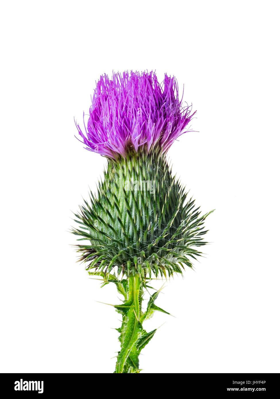 Milk Thistle Flower Medicine Herb Isolated on White - Stock Image