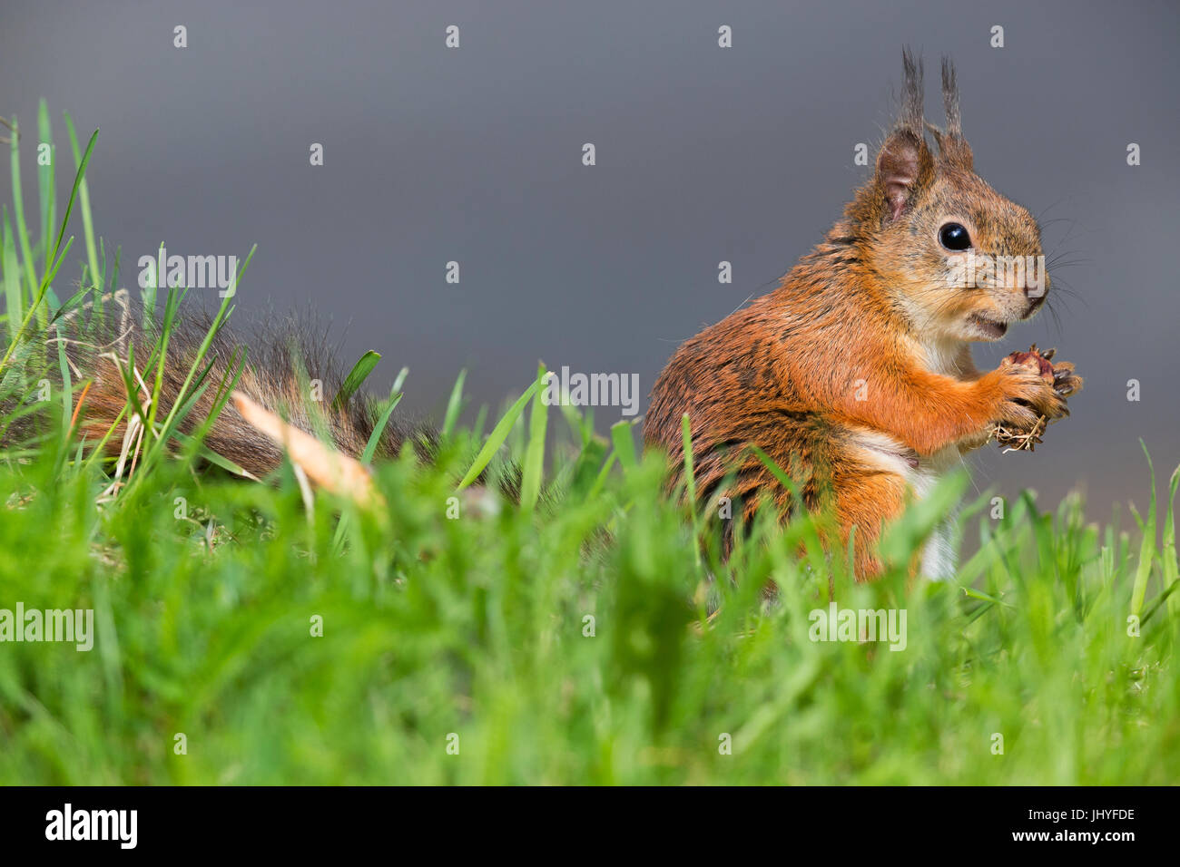 Red Squirrel (Sciurus vulgaris), adult female feeding on a pine cone - Stock Image