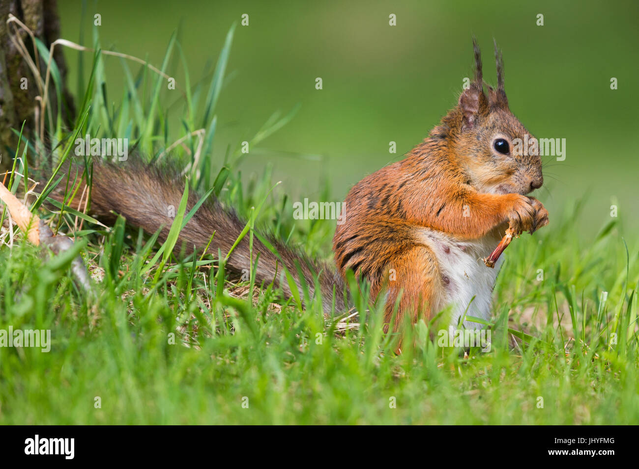 Red Squirrel (Sciurus vulgaris), adult female feeding - Stock Image