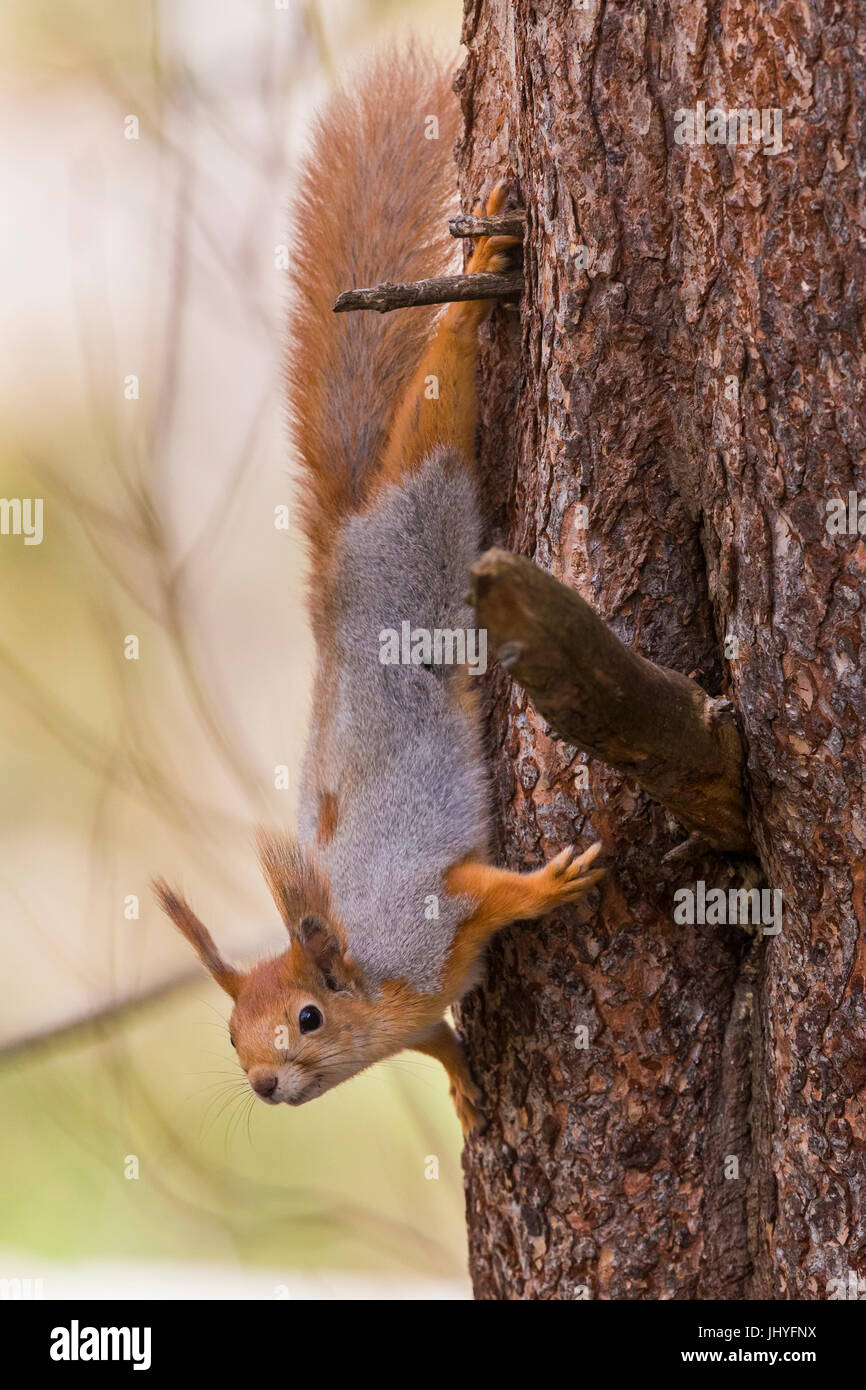 Red Squirrel (Sciurus vulgaris), adult descending on a bark tree - Stock Image