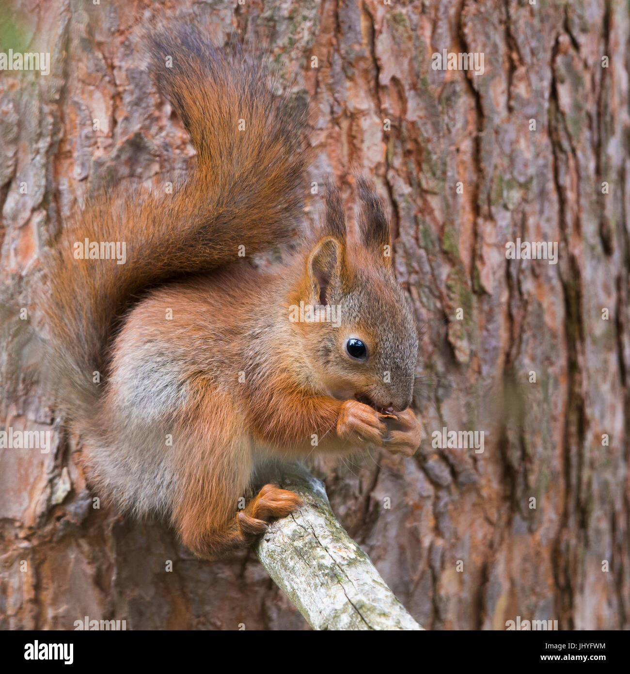 Red Squirrel (Sciurus vulgaris), aduld feeding and seeting on a pine branch - Stock Image