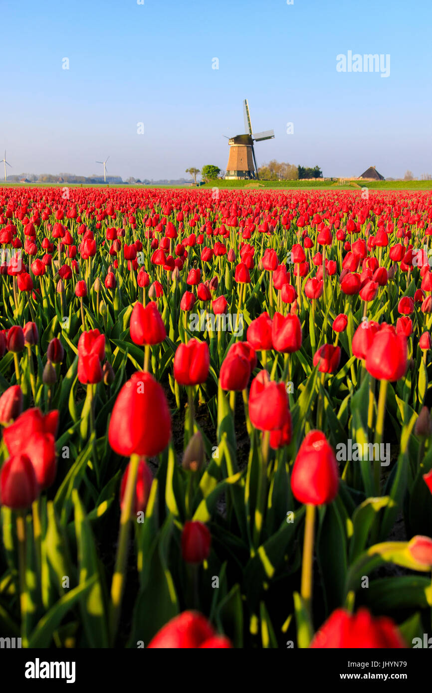 Fields of red tulips surround the typical windmill, Berkmeer, municipality of Koggenland, North Holland, The Netherlands, - Stock Image