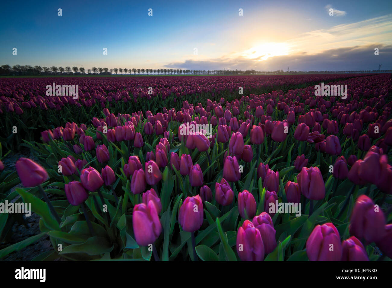 Colourful fields of tulips in bloom at dawn, De Rijp, Alkmaar, North Holland, Netherlands, Europe - Stock Image