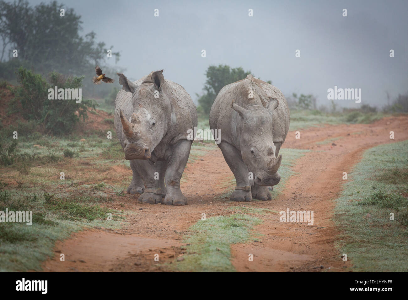 Two Rhinos and an oxpecker bird in the Amakhala Game Reserve in the Eastern Cape, South Africa, Africa - Stock Image