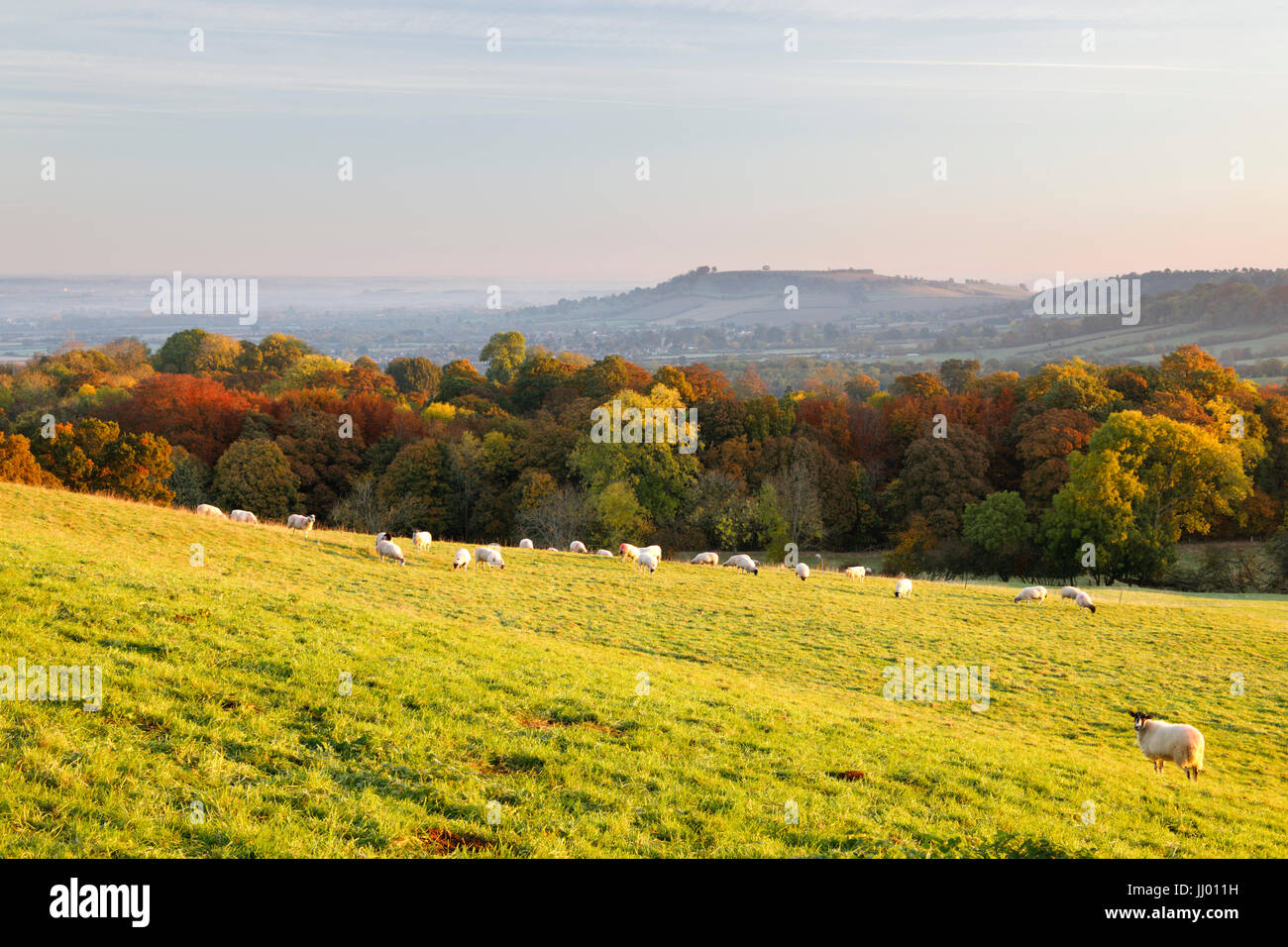 View of Meon Hill with sheep in autumn, Mickleton, Cotswolds, Gloucestershire, England, United Kingdom, Europe - Stock Image