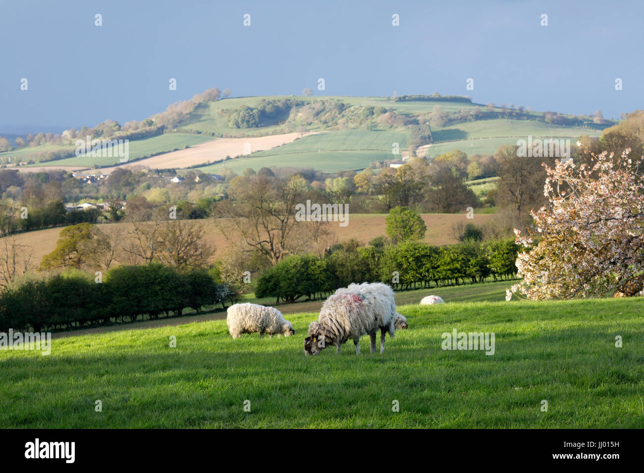 View of Meon Hill with sheep and white blossom in spring, Mickleton, Cotswolds, Gloucestershire, England, United - Stock Image