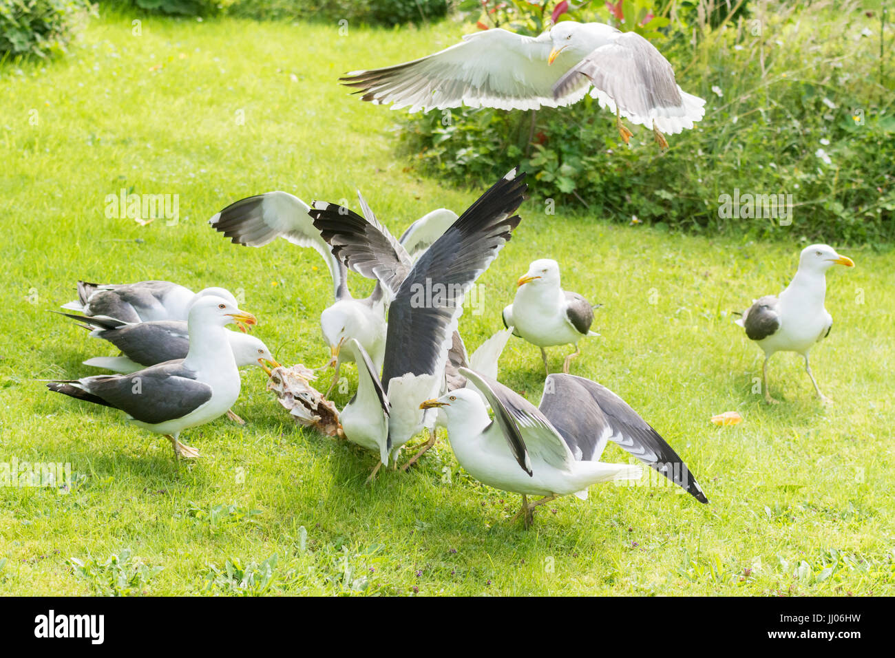 gulls in garden squabbling over cooked chicken carcass Stock Photo