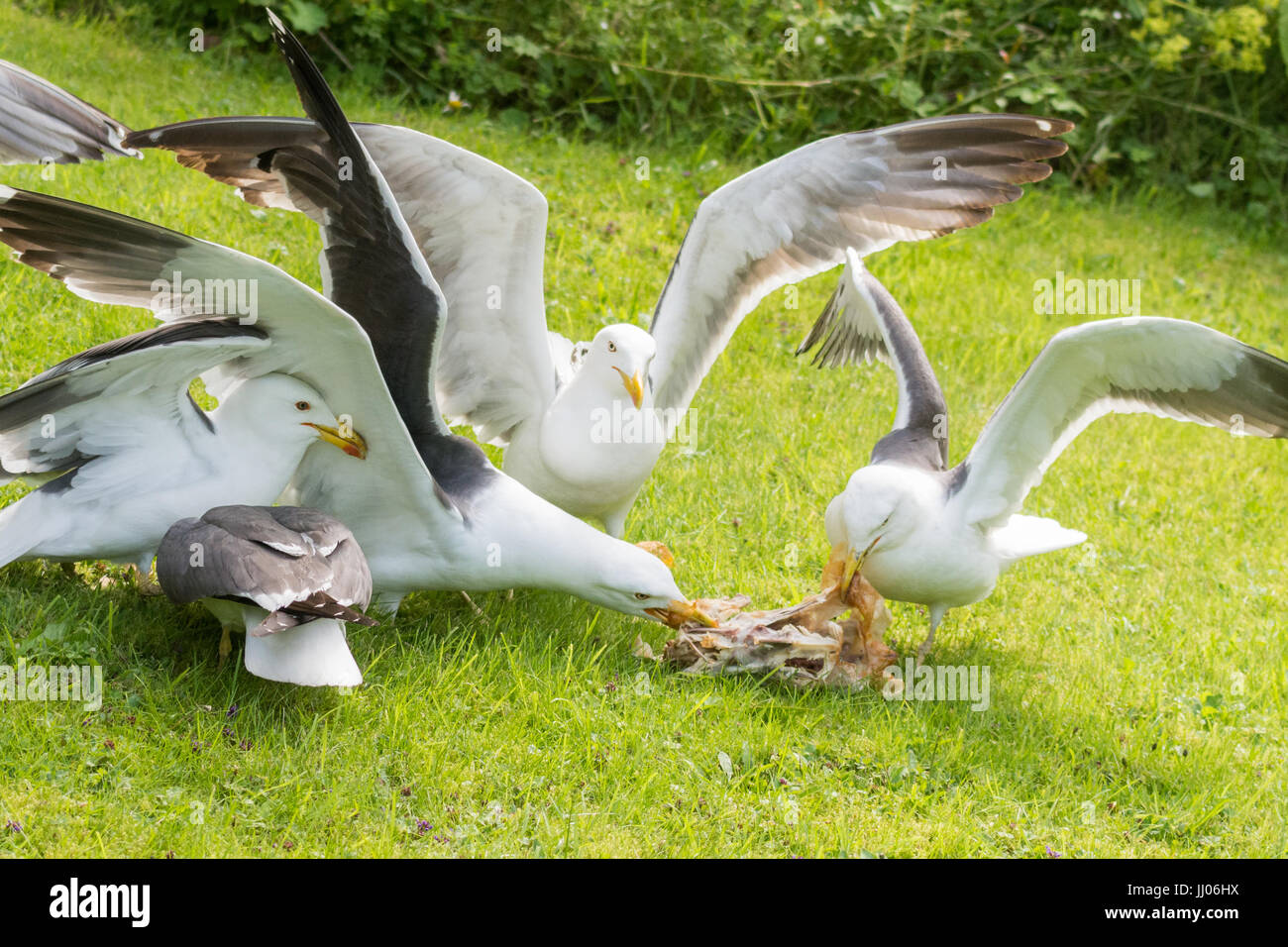 gulls in garden squabbling over cooked chicken carcass - Stock Image