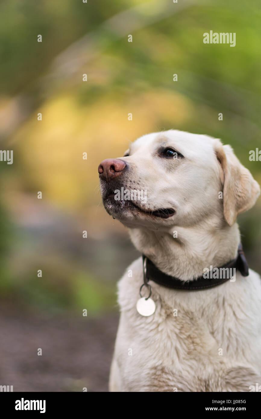 Posing labrador - Stock Image
