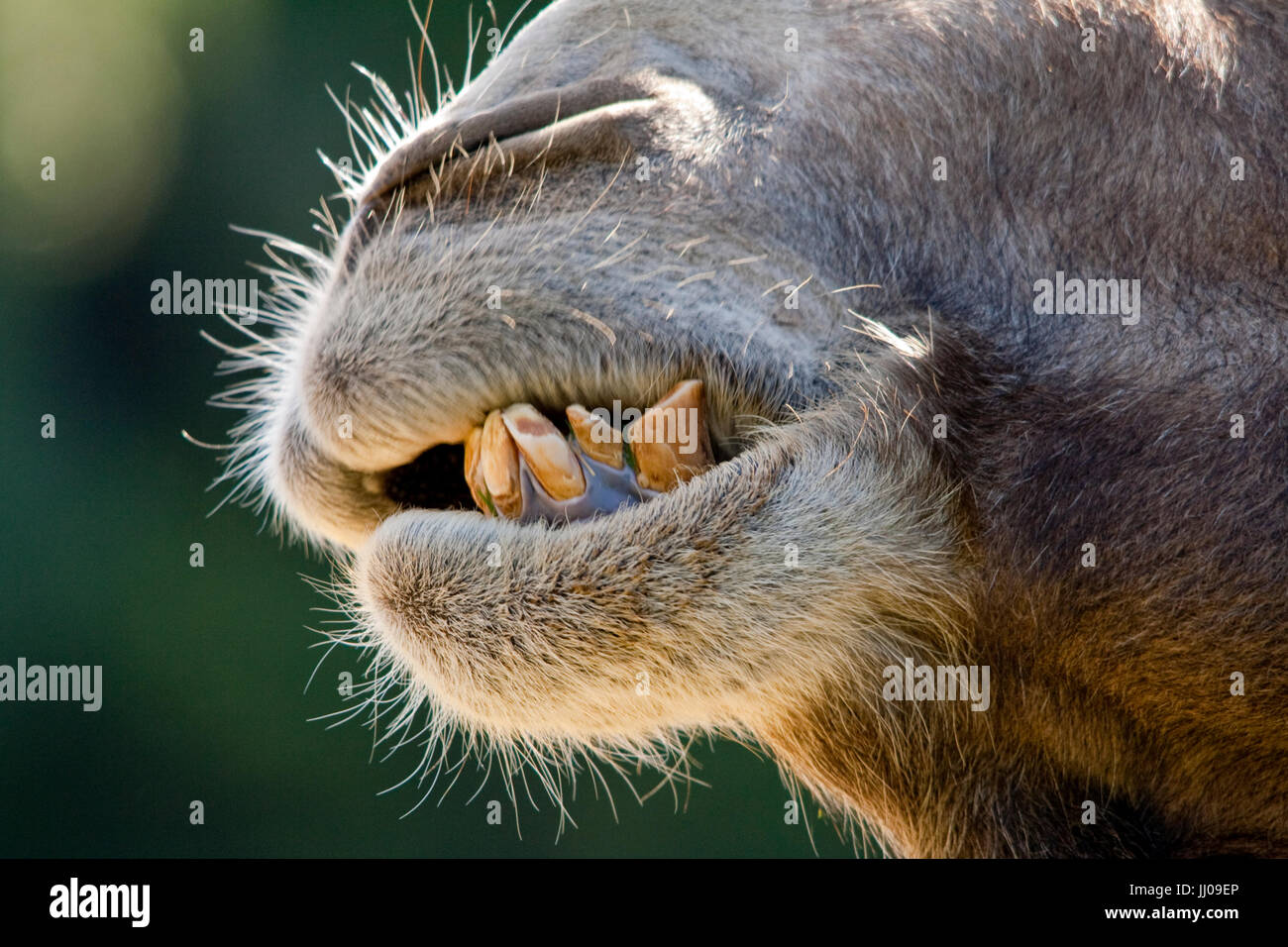 Teeth camel teeth close up showing uneven staggared stained distorted chipped worn unsightly sloping protruding - Stock Image