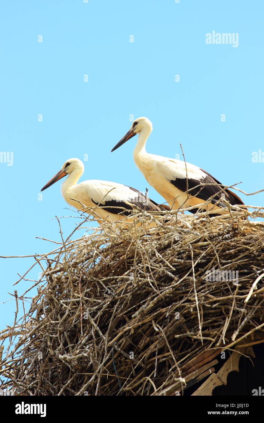 Young white storks, European storks village Cigoc, Croatia Stock Photo