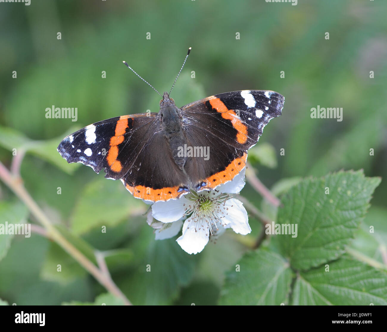 A Red Admiral (Vanessa atalanta) butterfly rests on a blackberry or bramble (Rubus fructosa) flower. Bedgebury Forest, Stock Photo