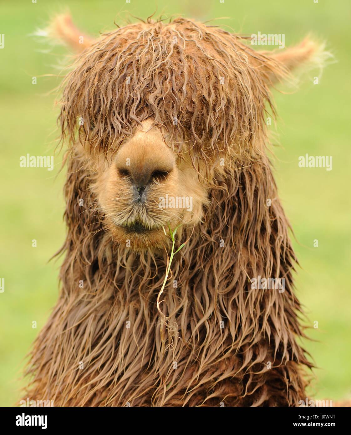 Portrait of a damp brown alpaca. Bedgebury Forest, Kent, UK. - Stock Image