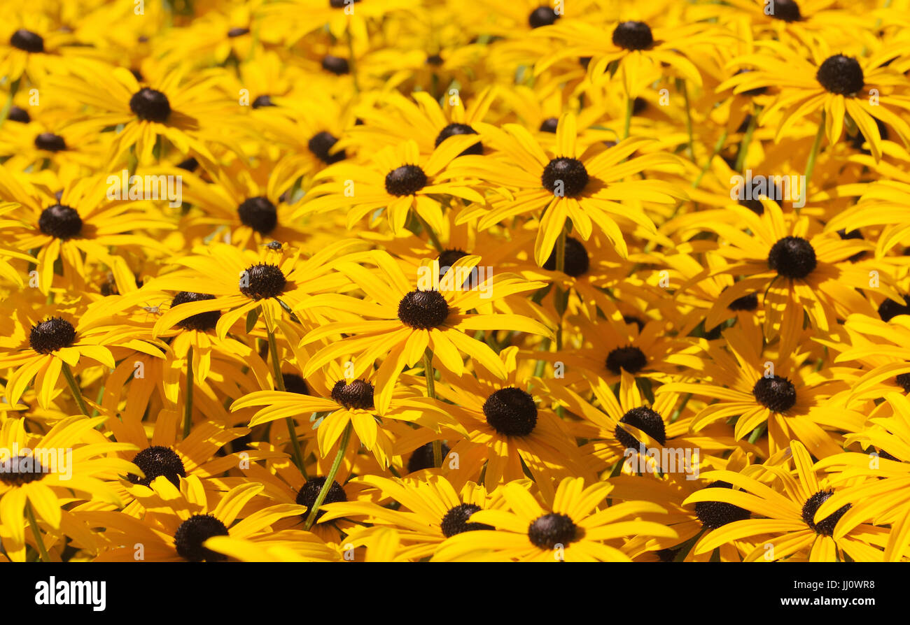 Tall yellow and black Rudbeckia flowers .. Henfield, Sussex, UK. - Stock Image