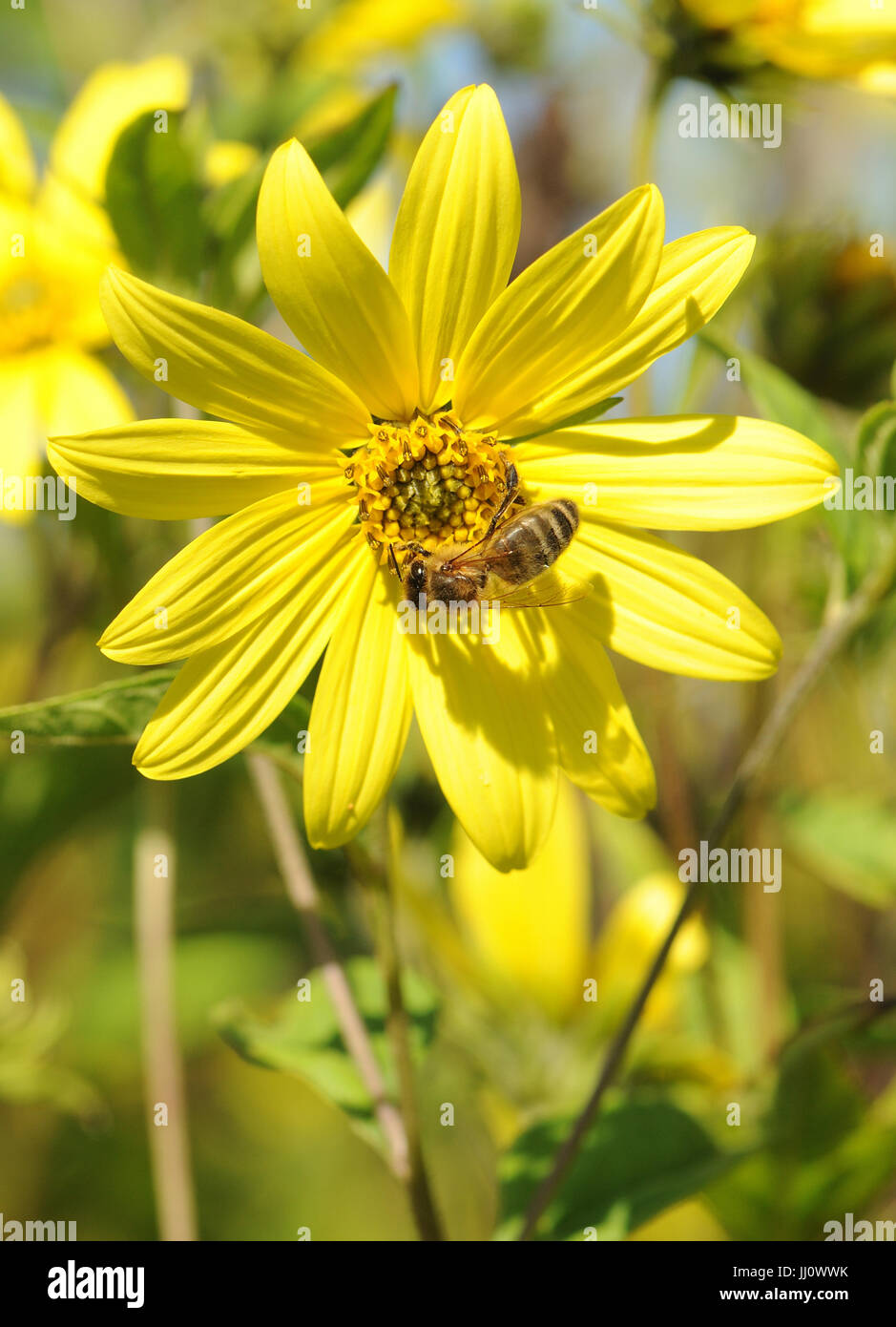 A honey bee (Apis mellifera) forages on a yellow flower. Henfield, Sussex, UK. - Stock Image