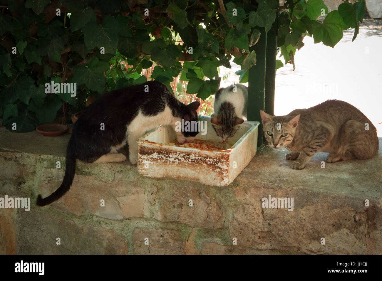 cats eating in the shade in the garden in summer. - Stock Image