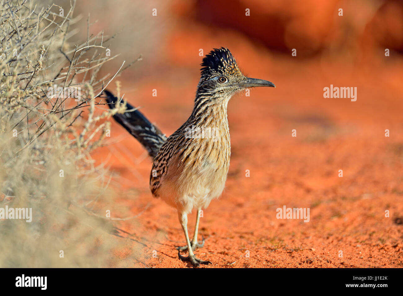 Greater roadrunner, hunting, Valley of Fire State Park, Nevada, USA - Stock Image