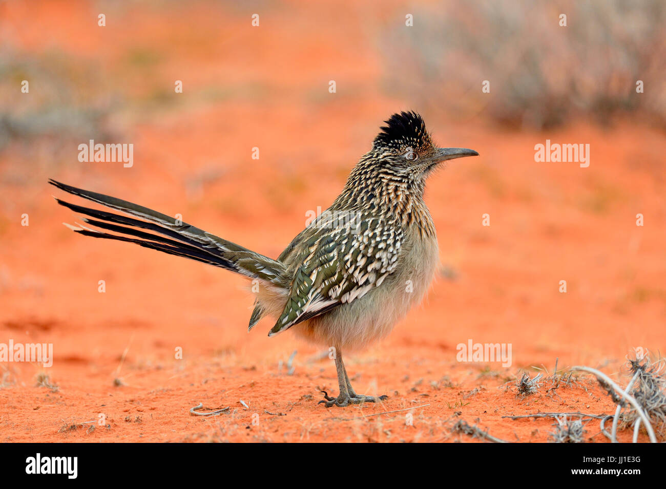Greater roadrunner (Geococcyx californianus), hunting in winter., Valley of Fire State Park, Nevada, USA - Stock Image