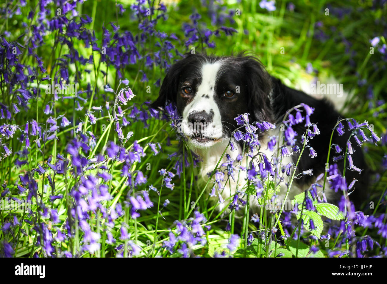 Molly the Border Collie cross dog amongst the Bluebells at Target Wood Stoke on Trent Staffordshire England UK - Stock Image