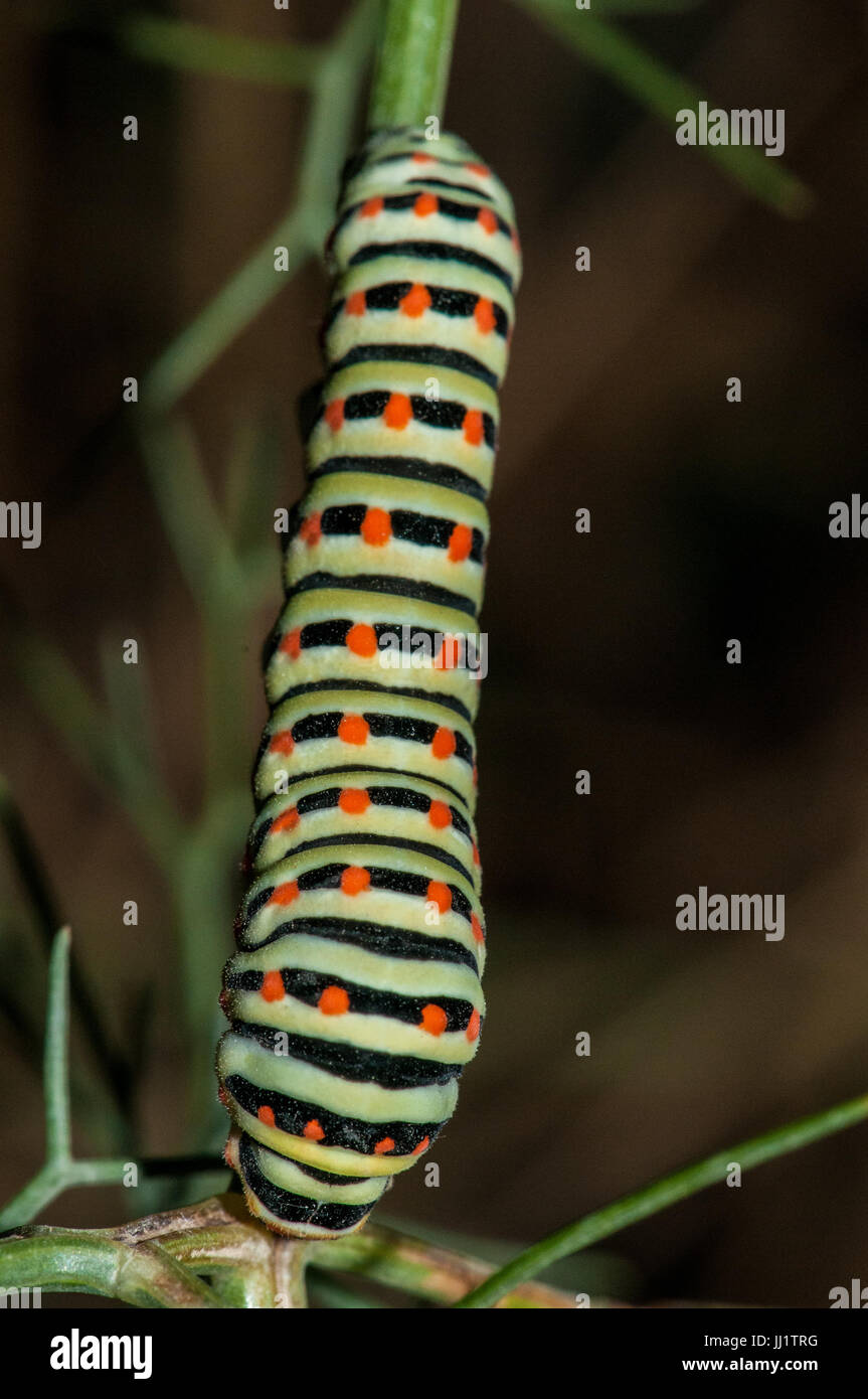 common yellow swallowtail caterpillar (Papilio machaon) perched on a branch at dusk - Stock Image