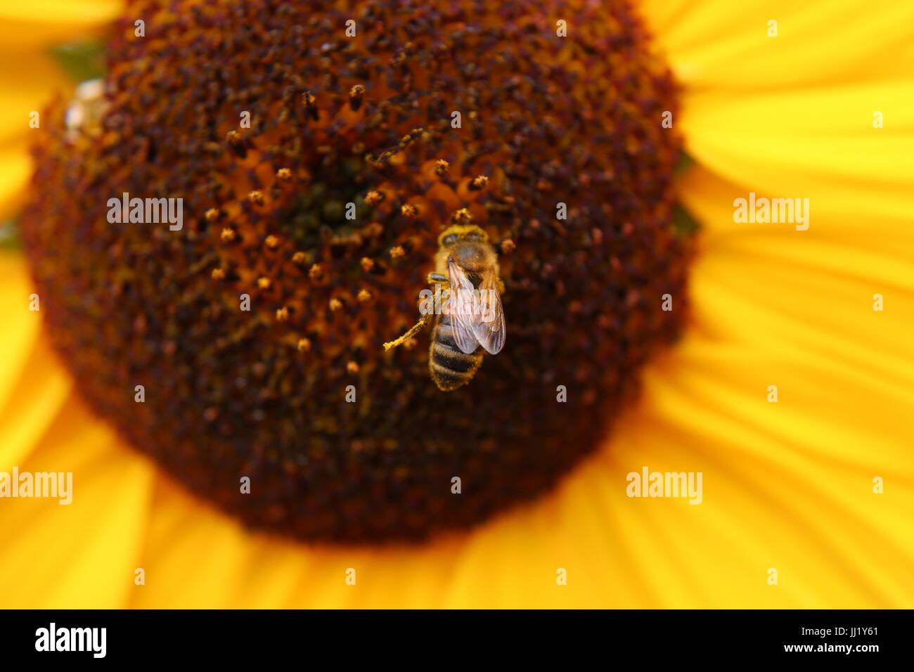 Wasp Feeding on Sun Flower - Stock Image