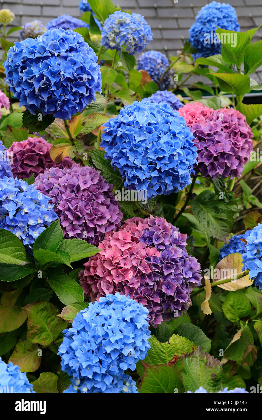 Pink and Blue Hydrangea flowers - Stock Image