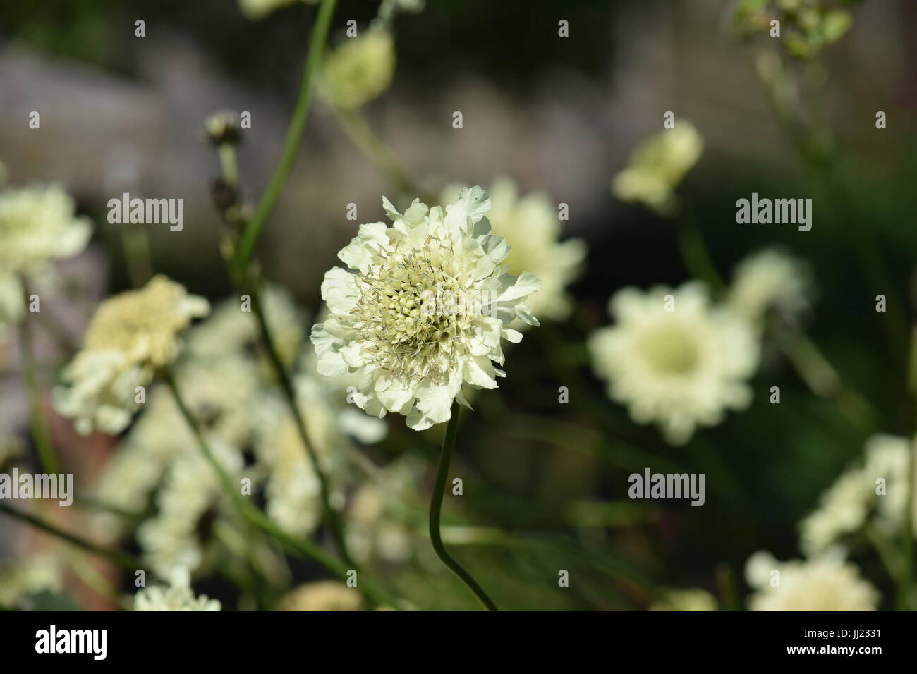 White Scabious Or Scabiosa Flower Stock Photo 148793093 Alamy