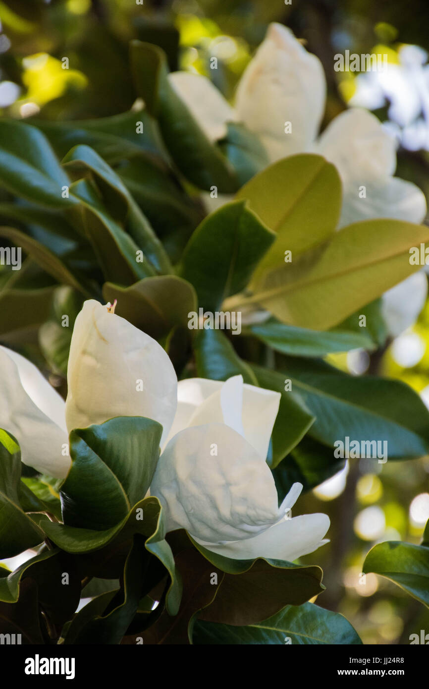 American Southern Magnolia Flowers On Trees In Golden Light Stock
