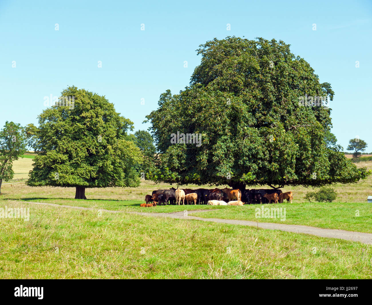 Cattle sheltering from the hot sun. - Stock Image