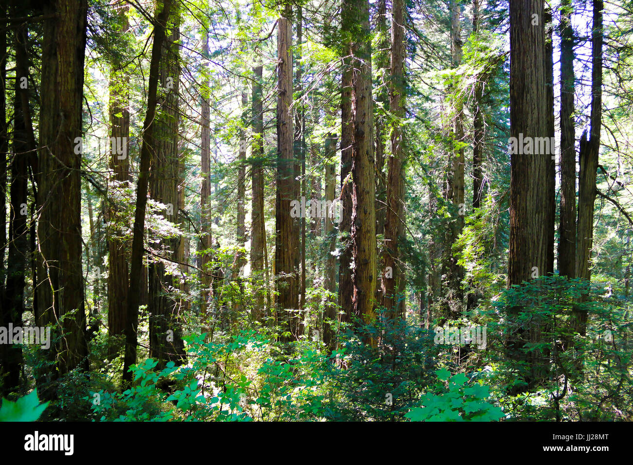 Mighty Redwoods - National Park, CA - Stock Image