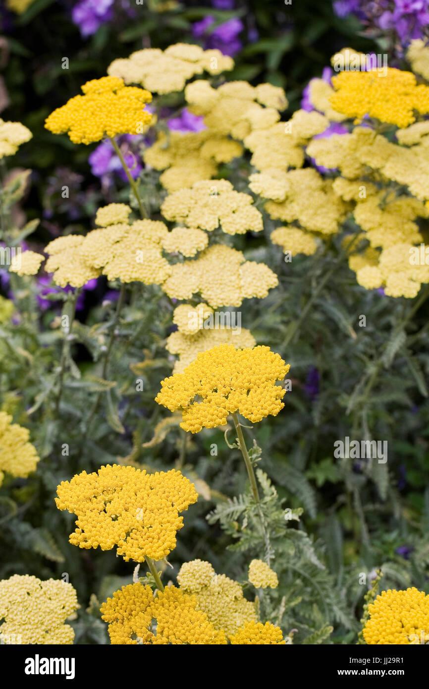 Achillea millefolium 'Moonshine'. Yarrow.Yellow flowering plant. - Stock Image