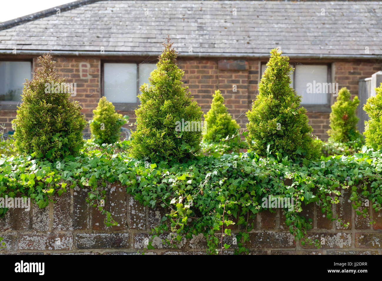 Dwarf Conifers and Ivy planted on top of old low brick wall - Stock Image
