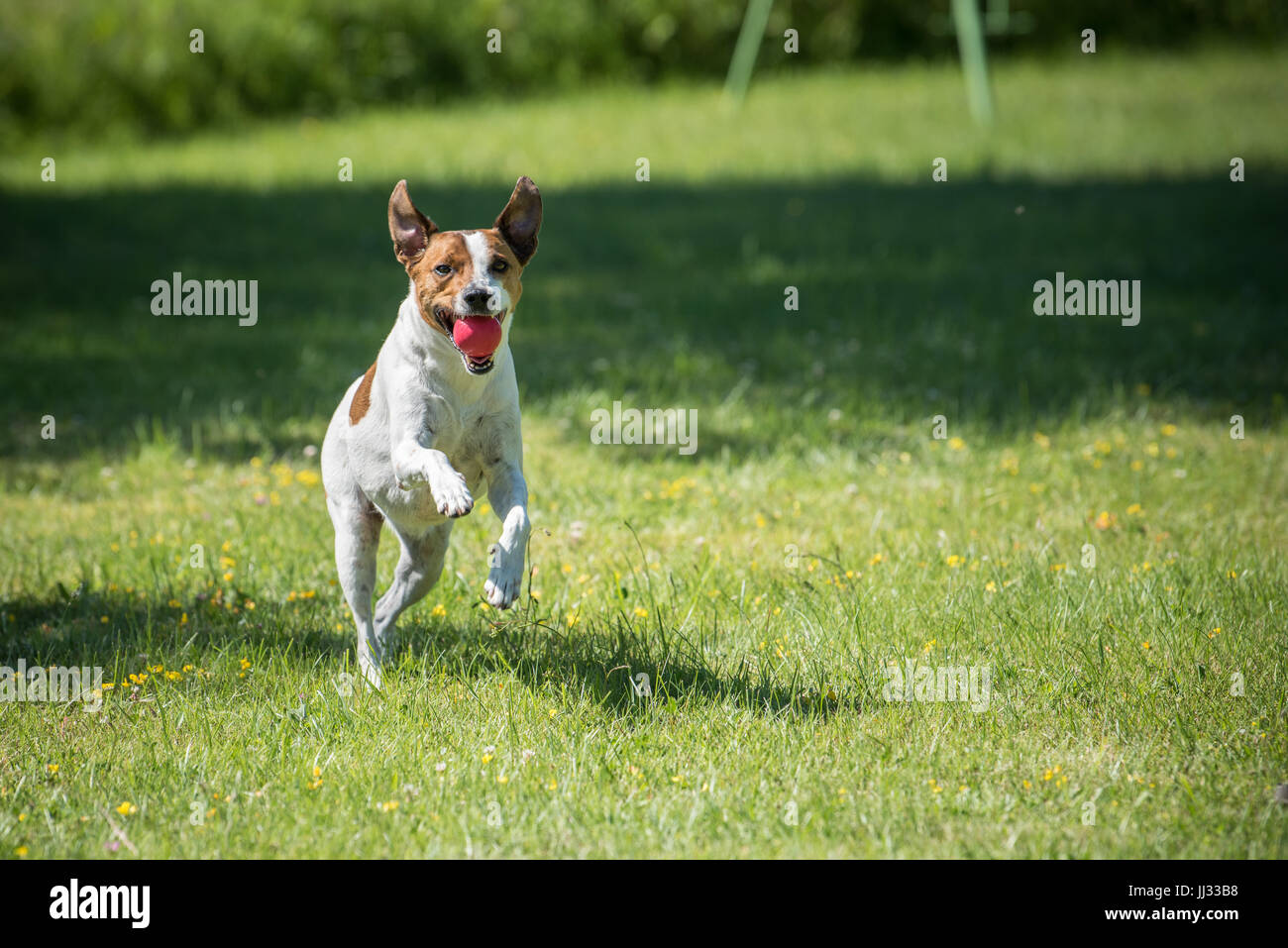 Danish Swedish Farmdog playing fetch with a ball. This breed, which originates from Denmark and southern Sweden - Stock Image