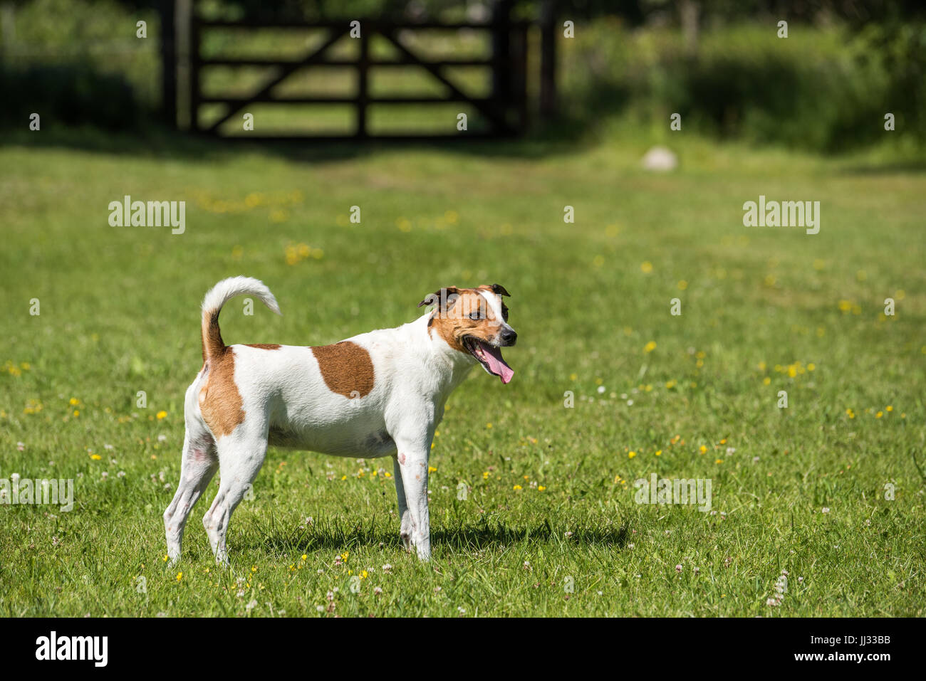 Danish Swedish Farmdog. This breed, which originates from Denmark and southern Sweden is lively and friendly. - Stock Image