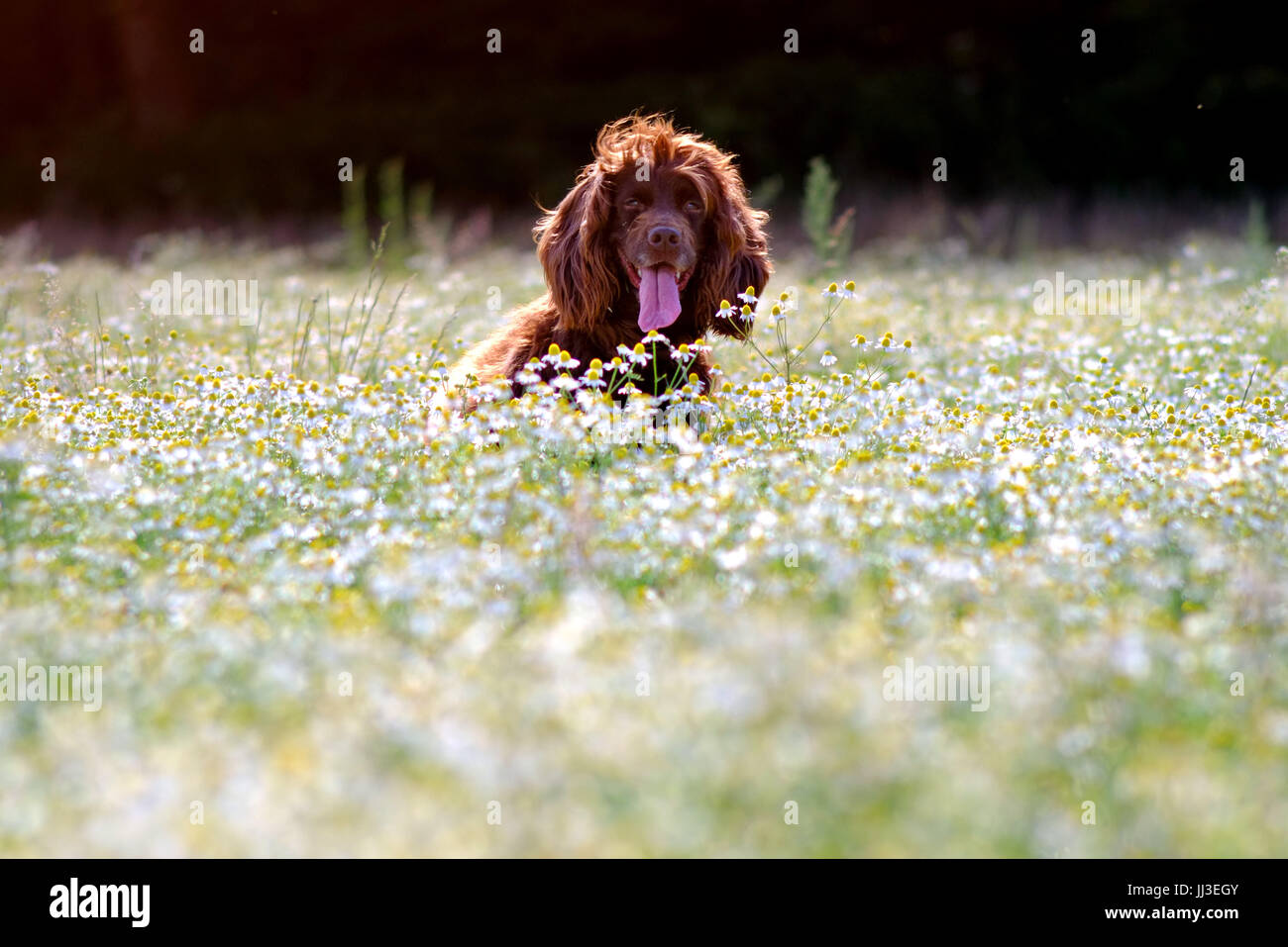 Ripe, East Sussex. 18th July 2017. Fudge, a working cocker spaniel, enjoying a warm start to the day in Ripe, East - Stock Image