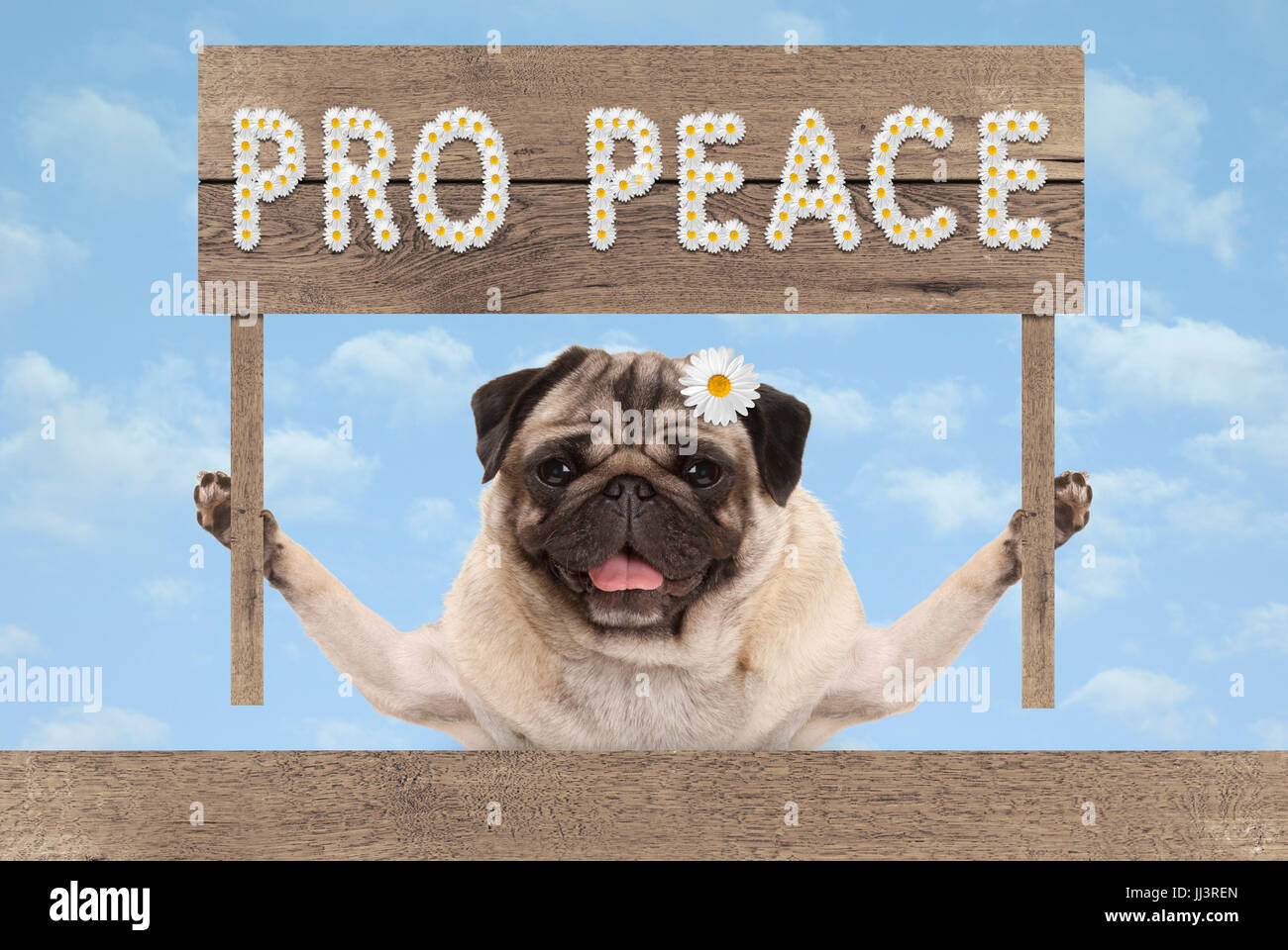 happy smiling pug puppy dog with wooden sign and text pro peace in white flowers on blue sky background - Stock Image